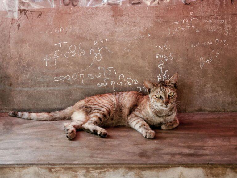 Katze in Myanmar