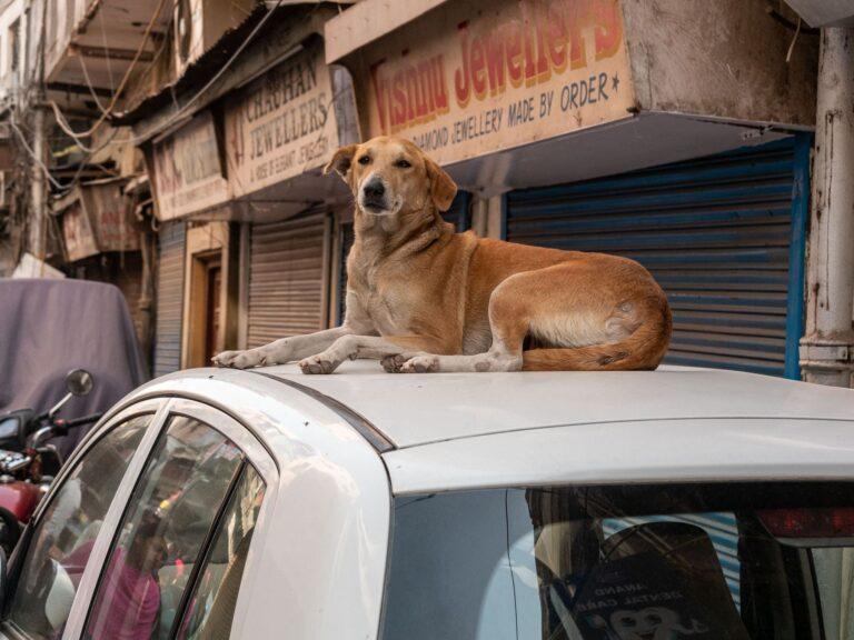 Hund in Indien