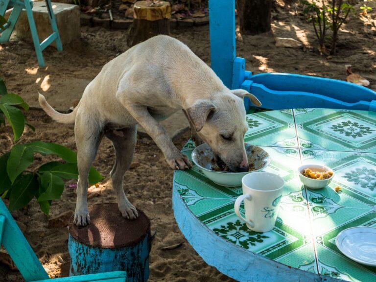 Hund stibitzt Essen